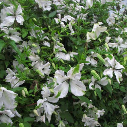 clematis viticella alba luxurians images. Black Bedroom Furniture Sets. Home Design Ideas