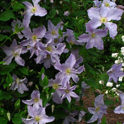 westphal clematis 1000 images about garden pictures on pinterest clematis 1000 ideas about