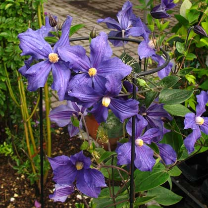 clematis integrifolia durandii images. Black Bedroom Furniture Sets. Home Design Ideas